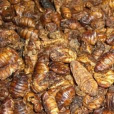 Silkworms 15KG